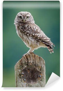 Fototapeta Vinylowa UK dzikiej Little Owl