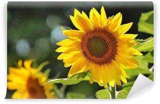 Vinylová Fototapeta Velké krásné slunečnice venku