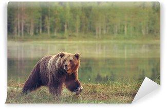 Vinylová Fototapeta Velký muž medvěd chůze v močálu při západu slunce