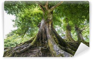 Vinylová Fototapeta Velký starý strom