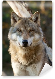 Vinylová Fototapeta Vlk, Canis lupus