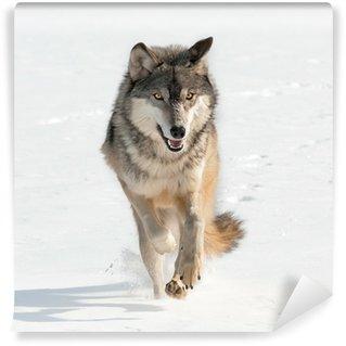 Vinylová Fototapeta Vlk obecný (Canis lupus) Běh Straight v prohlížeči