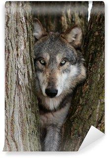 Vinylová Fototapeta Vlk obecný (Canis lupus)
