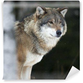 Vinylová Fototapeta Vlk v chladném zimním období