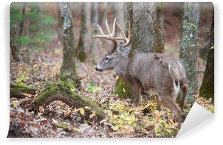 Vinylová Fototapeta Whitetail jelen buck na procházku do lesa