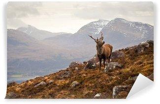 Vinylová Fototapeta Wild jelen, skotské vysočiny