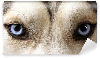 Vinylová Fototapeta Zavřít pohled modrých očí na Husky nebo eskymák psa.