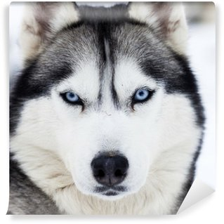 Vinylová Fototapeta Zblízka na modrých očích husky