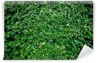 Vinylová Fototapeta Zelené listy zeď na pozadí