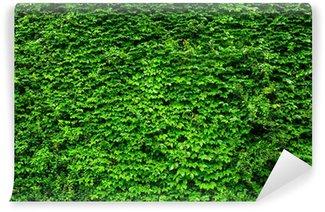 Vinylová Fototapeta Zelený břečťan stěna