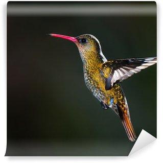Vinylová Fototapeta Zlacené Hummingbird (Hylocharis chrysura).