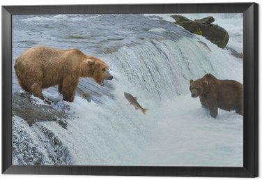 A brown grizzly bear hunting salmon at the river, Alaska, Katmai