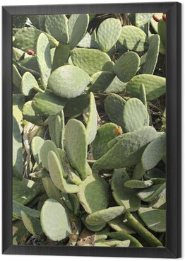 Framed Canvas A Prickly Pear Cactus with fruit, St Julians, Malta