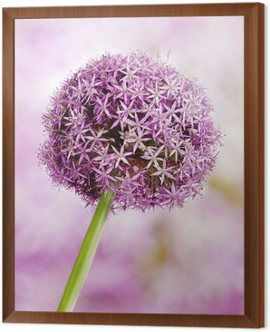 Framed Canvas Allium, Purple garlic flowers
