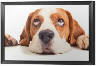 beagle head isolated on white