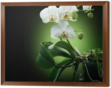 Framed Canvas Beautiful White Orchid isolated on black