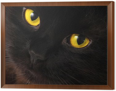 Framed Canvas Black cat looking to you with bright yellow eyes