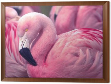 Framed Canvas Chilean Pink Flamingo
