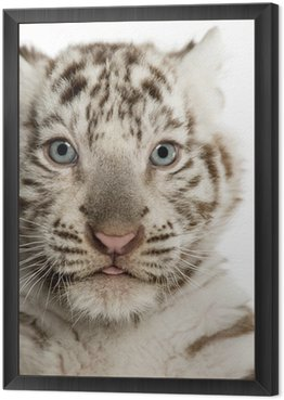 Framed Canvas Close-up of a White tiger cub,2 months old