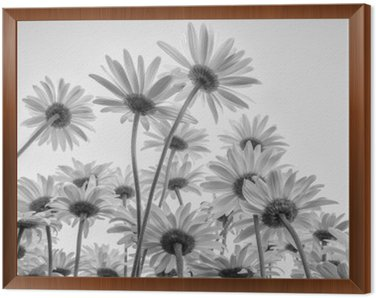 Framed Canvas Close up of white flowers daisies