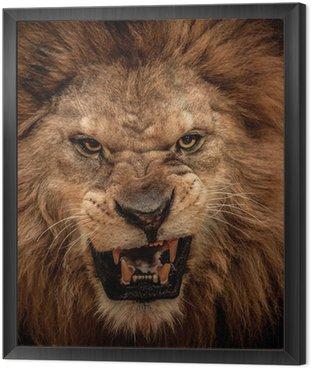 Close-up shot of roaring lion Framed Canvas
