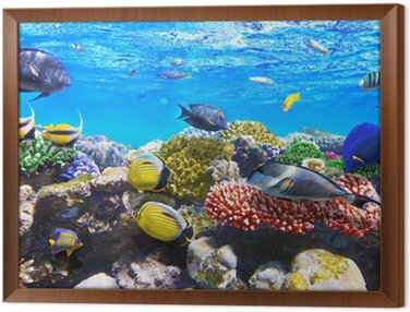Framed Canvas Coral and fish in the Red Sea.Egypt