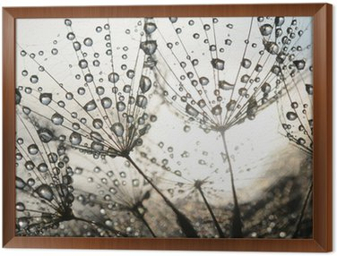 Framed Canvas Dandelion seeds with dew drops