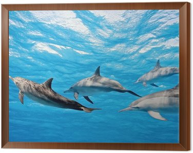 Framed Canvas Dolphins in the sea