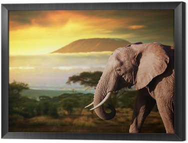 Elephant on savanna. Mount Kilimanjaro at sunset. Safari Framed Canvas
