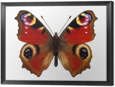 Framed Canvas European Peacock butterfly (Inachis io)
