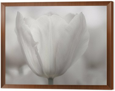 Fine art of close-up Tulips, blurred and sharp Framed Canvas