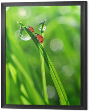 fresh morning dew and ladybirds Framed Canvas
