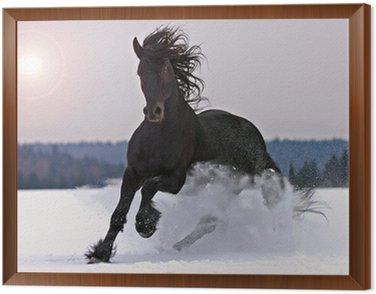 Framed Canvas Frisian horse on snow