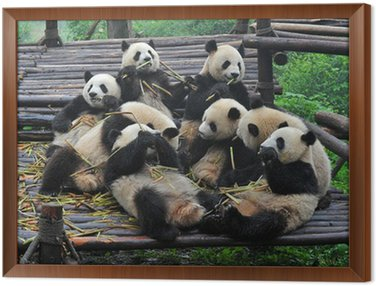 Giant panda bears gather for bamboo meal Framed Canvas