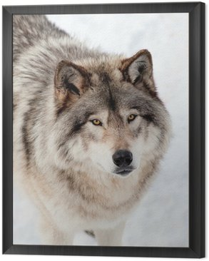 Gray Wolf in the Snow Looking up at the Camera Framed Canvas