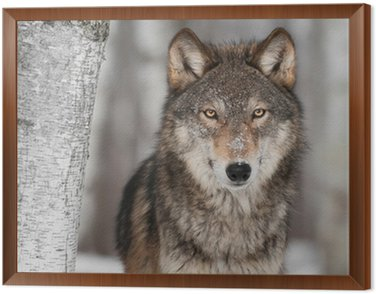 Grey Wolf (Canis lupus) Next to Birch Tree Framed Canvas