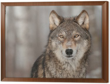 Grey Wolf (Canis lupus) Portrait Framed Canvas