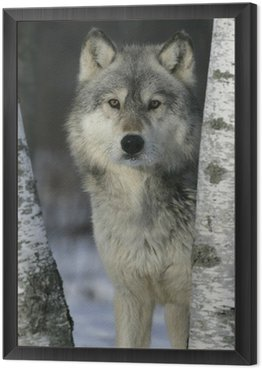 Grey wolf, Canis lupus Framed Canvas