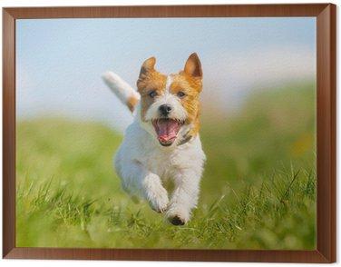 Framed Canvas Jack Russell Terrier dog