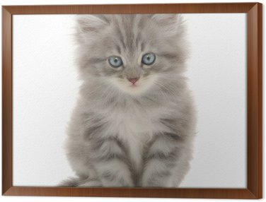 Kitten on a white background Framed Canvas