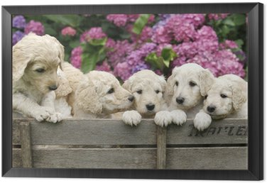 Framed Canvas Labradoodle Pupies