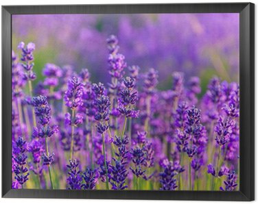 Framed Canvas Lavender field in Tihany, Hungary