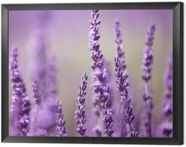 Framed Canvas Lavender flower