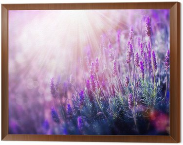 Framed Canvas Lavender Flowers Field. Growing and Blooming Lavender