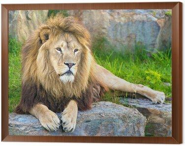 Lion Framed Canvas