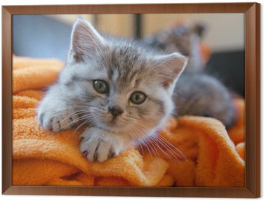 Framed Canvas Little grey cat lying on an orange blanket on the couch