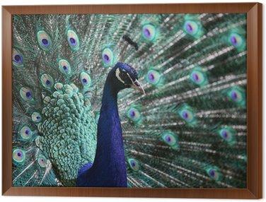male peacock (Pavo cristatus)