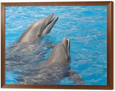Framed Canvas Pair of dolphins with head out of the water