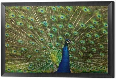 peafowl displaying