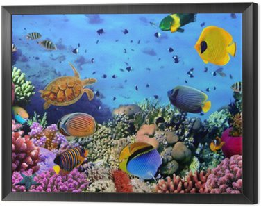 Framed Canvas Photo of a coral colony